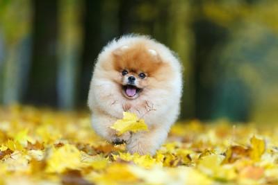 黄色い落ち葉の中を歩くポメラニアン