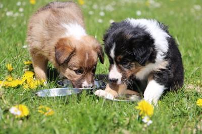 ステンレスの皿に手を入れる2匹の子犬