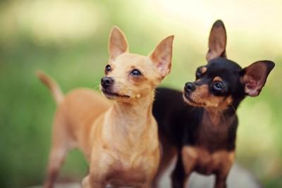耳を立てて注目している犬たち