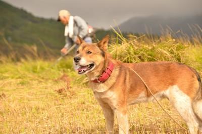 田んぼにたたずむ柴系雑種犬