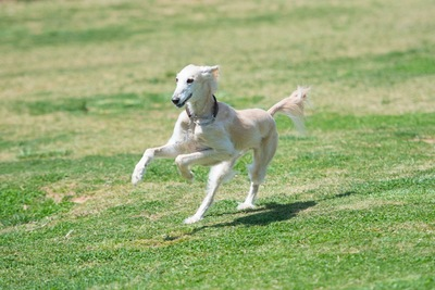 草原を走るサルーキの写真