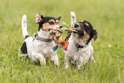 おもちゃを咥えて走る2頭の犬