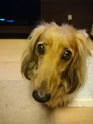 愛犬(ミニチュアダックス)