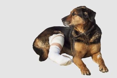 足をケガした垂れ耳の犬