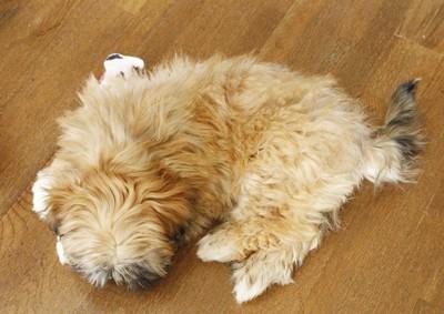 床の上で丸くなるラサの子犬