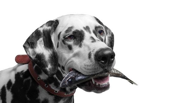 魚をくわえている犬