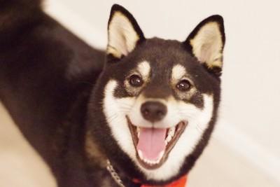 笑顔でこちらを見つめる黒い柴犬