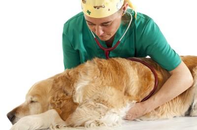 獣医師に診察されるゴールデンレトリーバー