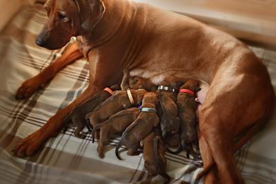 たくさんの子犬に授乳している母犬