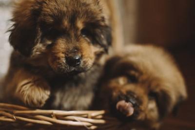 チベタンマスティフ子犬