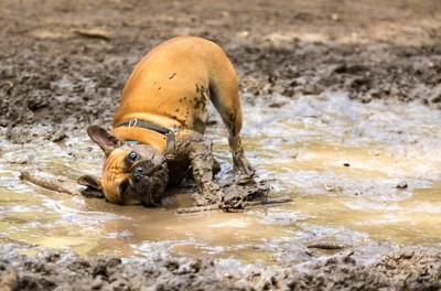 泥水を浴びて泥だらけになる犬