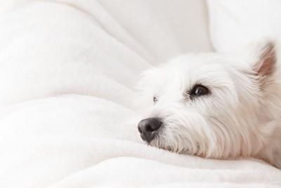 布団の上で横になっている犬