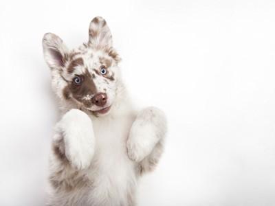 お腹を見せるオーストラリアンシェパードの子犬