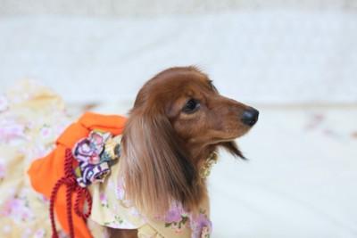 着物を着た犬