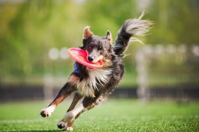 フリスビーをくわえて走る犬