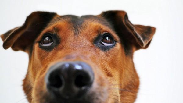 上目使いの犬
