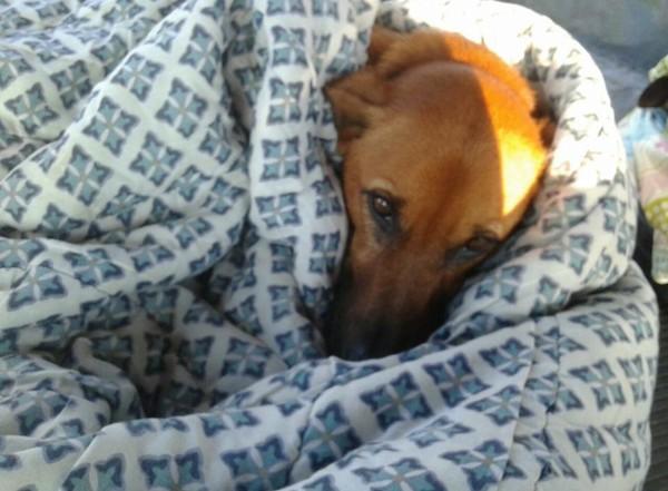 布団にくるまり上目使いでこちらを見ている犬