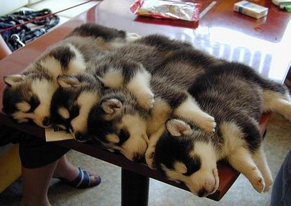 並んで眠るシベリアンハスキーの子犬たち