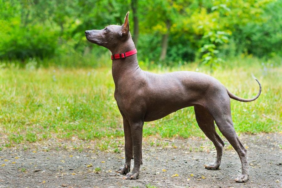 珍しい犬ペルービアン・ヘアレス・ドッグ