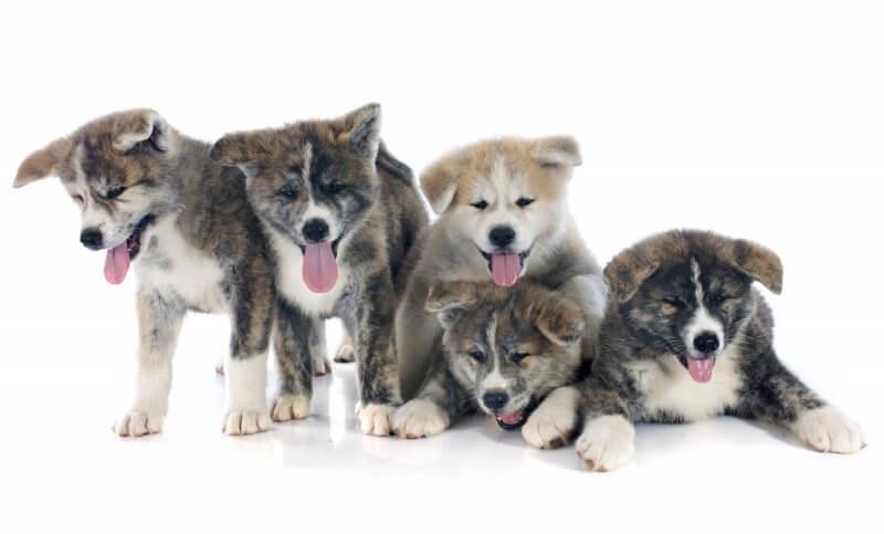 虎毛の秋田犬の子犬たち