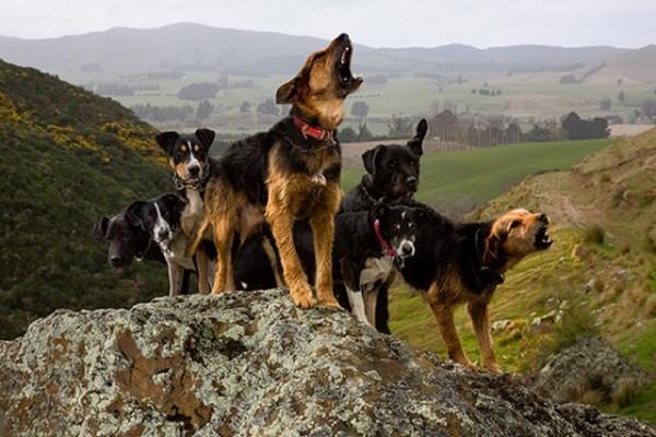 崖にいる6頭の犬