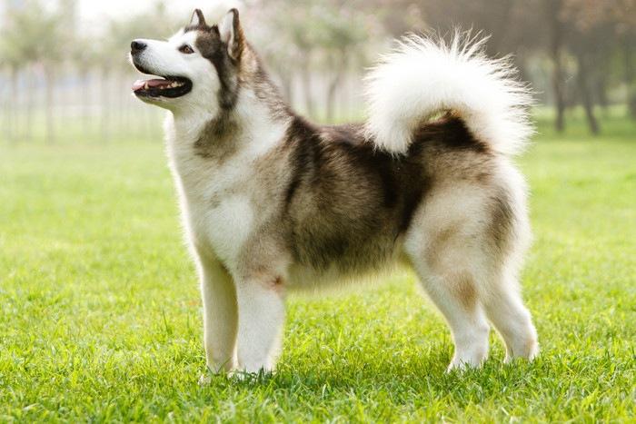 珍しい犬アラスカンマラミュート
