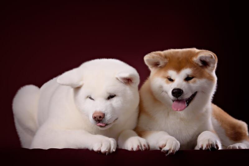 白と茶色の秋田犬