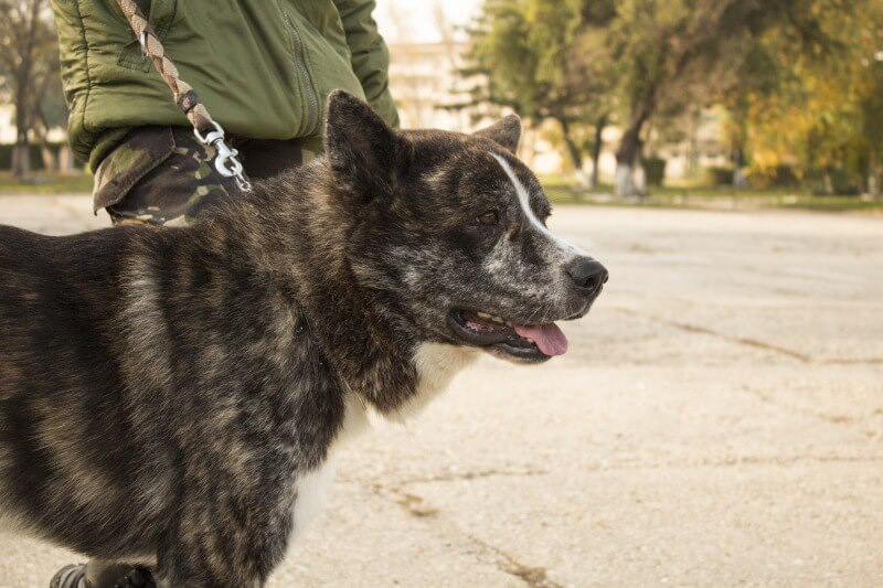 散歩する黒虎毛の秋田犬