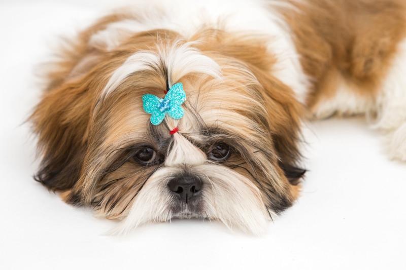 蝶の飾りをつけたシーズー