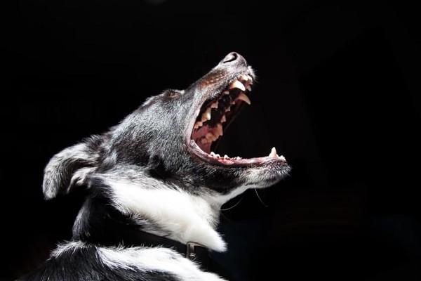 怒り吠える犬