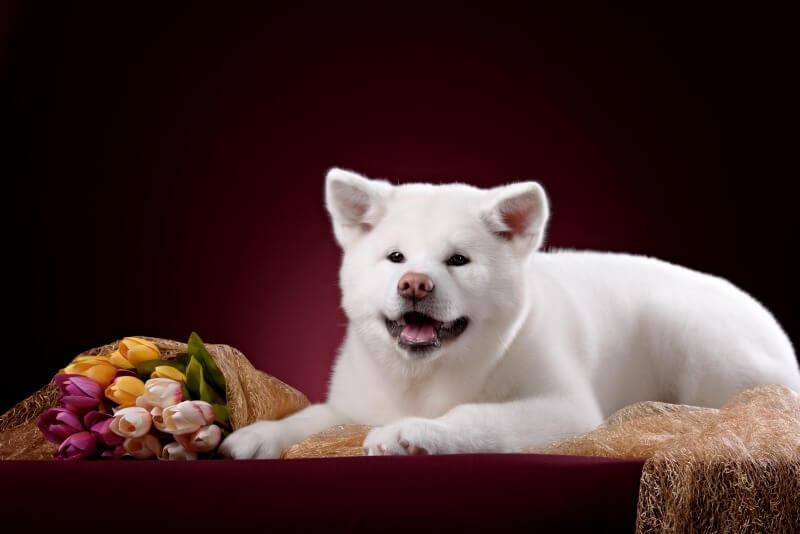 花束と白い秋田犬