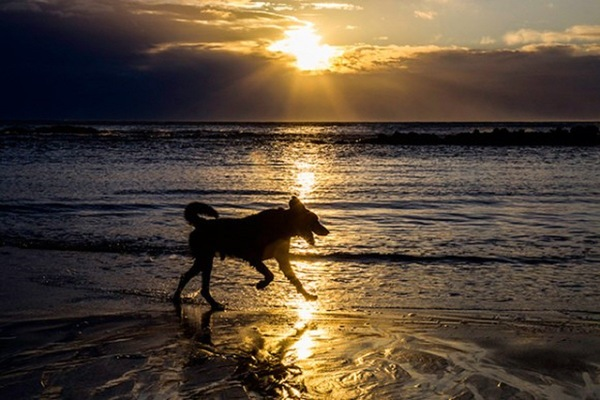 日没近くの海沿いを走る犬