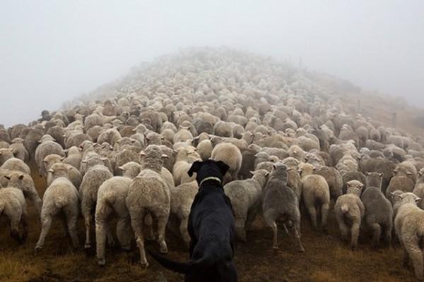 羊の群れを追う犬