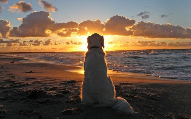 海辺の夕日を見つめるゴールデンレトリバー
