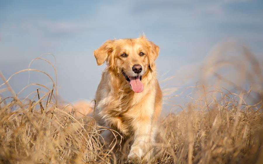 草むらを走るゴールデンレトリバー
