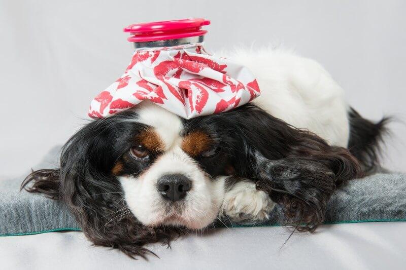 ぶどう中毒で寝込む犬
