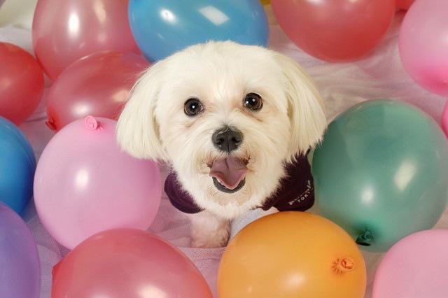 風船に囲まれて笑顔を見せる犬