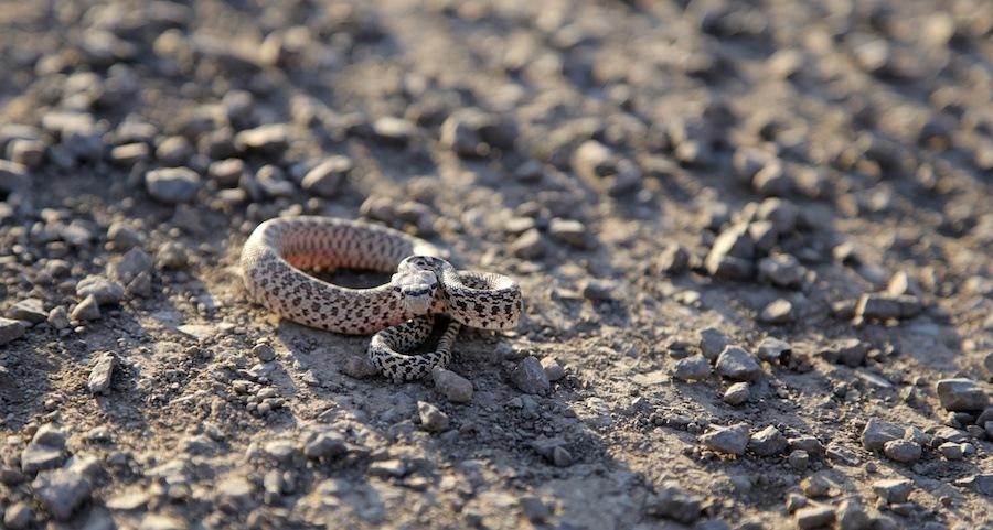 ガラガラ蛇