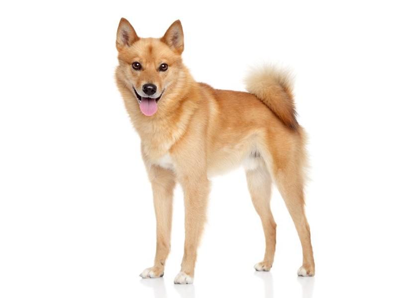 フィニッシュスピッツってどんな犬?性格や特徴、価格の相場や歴史まで | わんちゃんホンポ