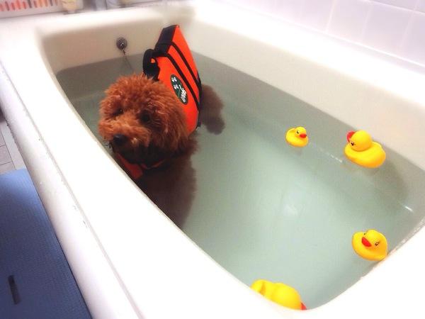 Resultado de imagen para 犬 Poodles 浴室
